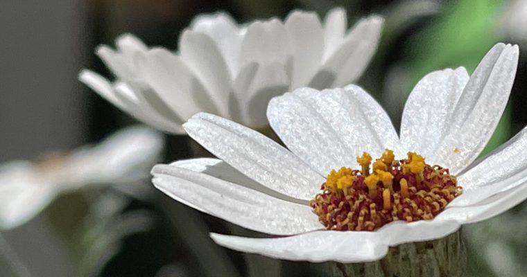 花言葉は「永遠の愛」「気丈に」「誠実」