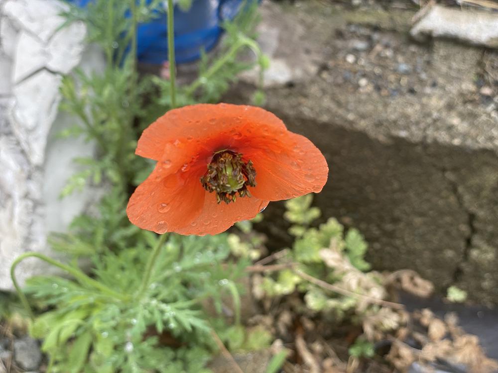 ケシ の 花