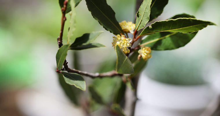 パティオの月桂樹に花が咲きました